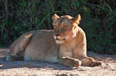 Lioness lying in shade — Stock Photo