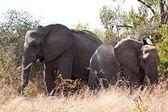 草丛中的两个大象 — 图库照片
