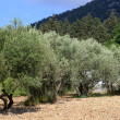 Rows of olive trees in Greece — Stock Photo