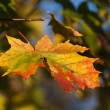 Autumn Impressions - solitary leaf falling — Stock Photo