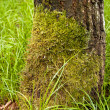 Moss on the tree — Stock Photo