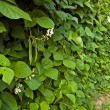 Bean plant - Stock Photo
