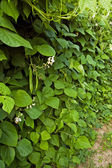 Bean plant — Stock Photo