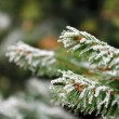 Frozen pine branches in the winter - close up — Stock Photo #7770679