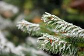 Branches de pin gelés en hiver - gros plan — Photo