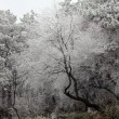 Frozen white forest — Stock Photo