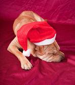 Santa pies — Zdjęcie stockowe