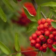 Rowan red — Stock Photo #7764971