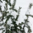 Evergreen fur trees — Stock Photo #6867863