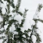 immergrüne Pelz Bäume — Stockfoto
