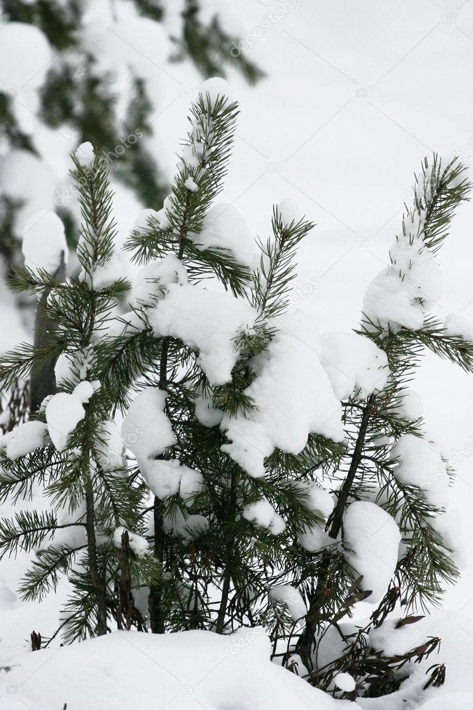 Evergreen fur trees and pines covered by a snow on the eve of Christmas — Stock Photo #6867863
