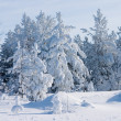 Evergreen fur-trees covered — Stock Photo
