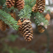 Stock Photo: Cone of conifer tree