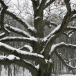 Old snow covered oak — Stock Photo
