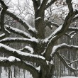 Old snow covered oak — Stock Photo #6995144