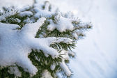 Evergreen fur-tree — Stock Photo
