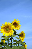 Ripe bright sunflowers — Stock Photo