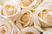 Gentle roses — Stock Photo