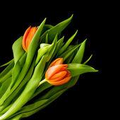 Beautiful red tulips — Stock Photo
