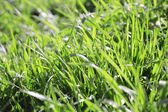 Juicy green grass — Stock Photo