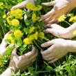 Hands embracing dandelions — Stock Photo
