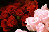 Red fresh roses — Stock Photo