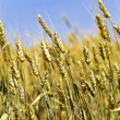 Wheaten field — Stock Photo #7655996