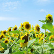 Field of sunflowers — Stock Photo #7656015