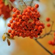 Ripe juicy mountain ash — Foto Stock