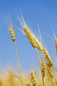Gebied van een gouden tarwe — Stockfoto
