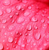 Close up of water drops on fresh flower petal — Stock Photo