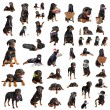 Stock Photo: Rottweilers