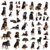Rottweilers — Stock Photo