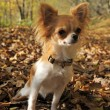 Chihuahua in forest -  
