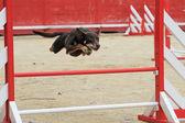 Australian cattle dog in agility — Stock Photo