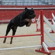 Rottweiler in agility — Stock Photo #7650975