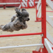 Poodle in agility - Stock Photo