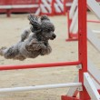 Stock Photo: Poodle in agility