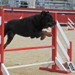 Stock Photo: Rottweiler in agility
