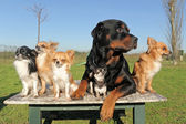 Chihuahuas and rottweiler — Stockfoto
