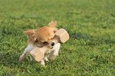 Puppy chihuahua and stick — Stockfoto