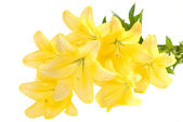 Bouquet of yellow lilies. Isolated on white — Stock Photo