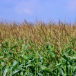 Corn in field on the blue sky — Stock Photo
