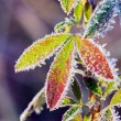 Frost leaves — Stock fotografie