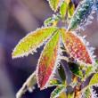 Frost leaves - Stock Photo