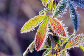 Frost leaves — Stock Photo