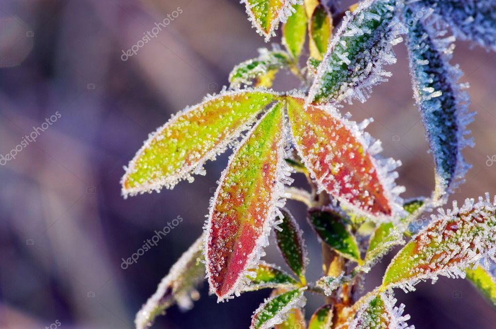 Frost leaves, frozen leaves at the morning.  — Stock Photo #7399498