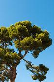 Old pine tree — Stock Photo