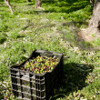 Stock Photo: Olive crates