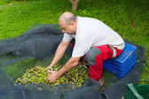 Picking olives — Stock Photo